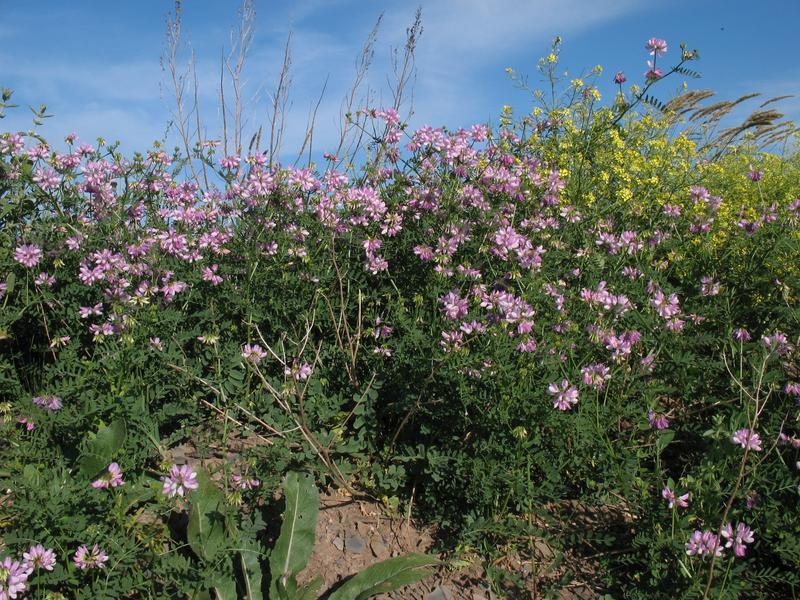 Вязель выращивание из семян фото 15